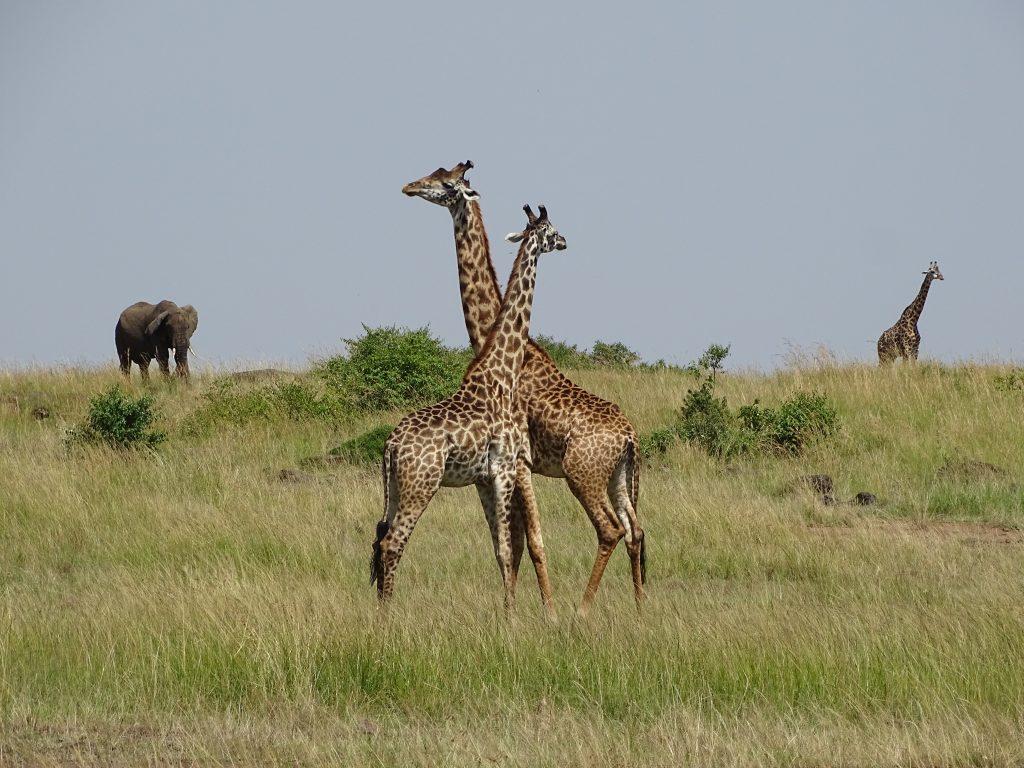 Girafe Masai Mara