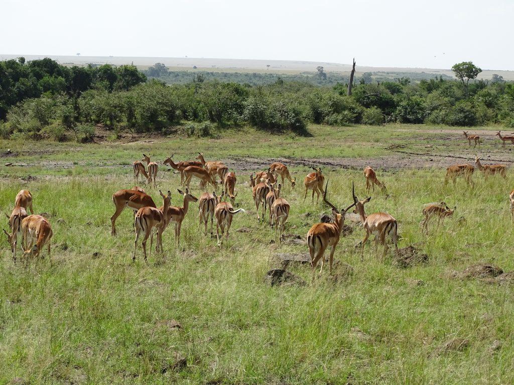 Gazele Thompson Masai Mara