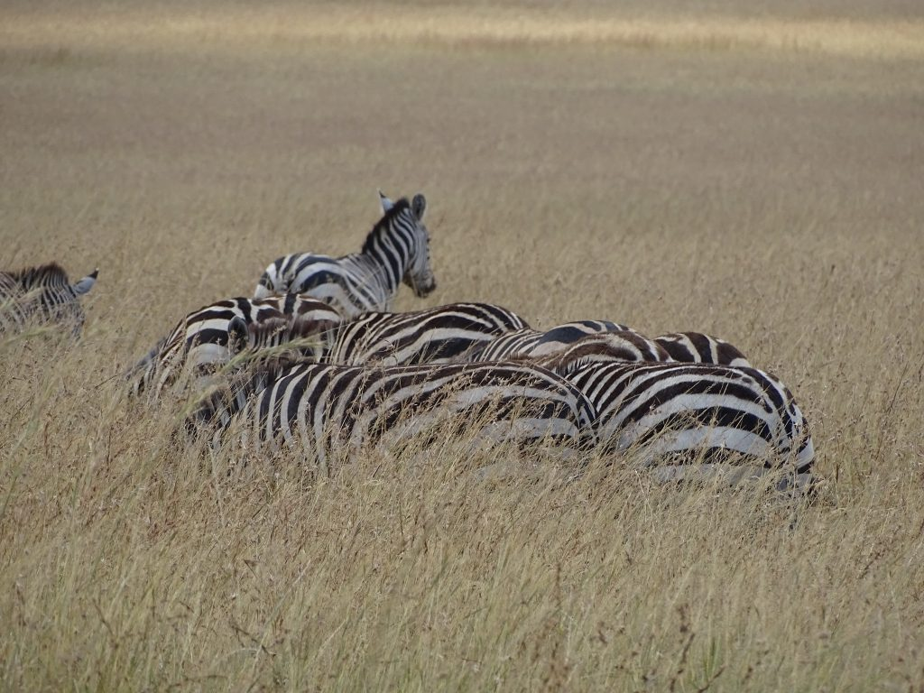 Zebre Masai Mara