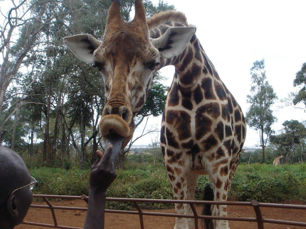 Giraffe Center Kenya