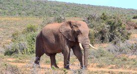 Elefant ADDO Park